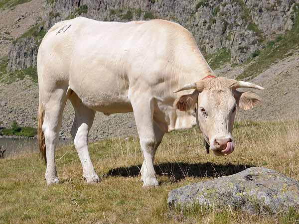 Nằm mơ thấy bò đánh con gì, có ý nghĩa điềm báo gì