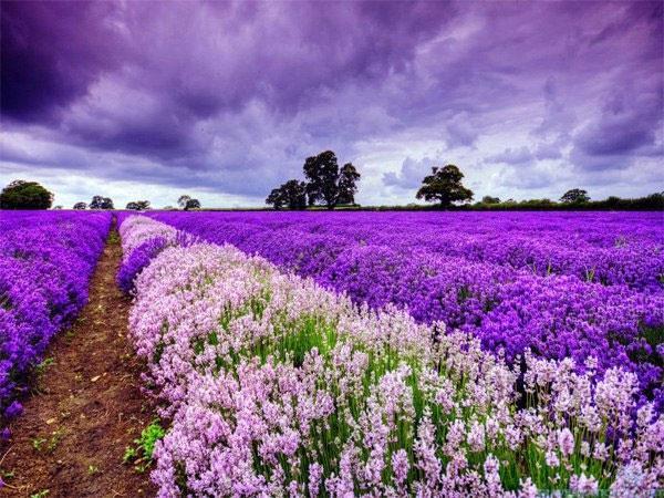 Mơ thấy hoa màu tím tốt hay xấu?