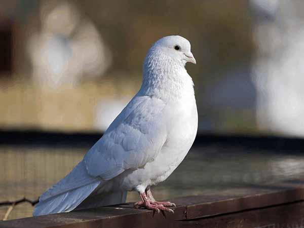 Nằm mơ thấy chim bồ câu đánh con gì ăn chắc, có điềm gì